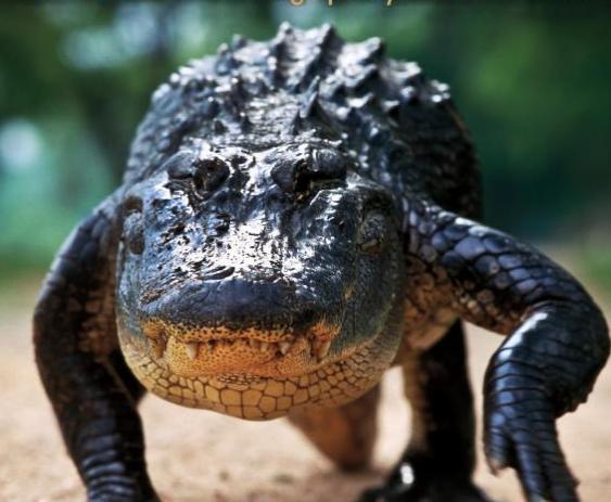 alligators_of_texas_hayes_henry_book